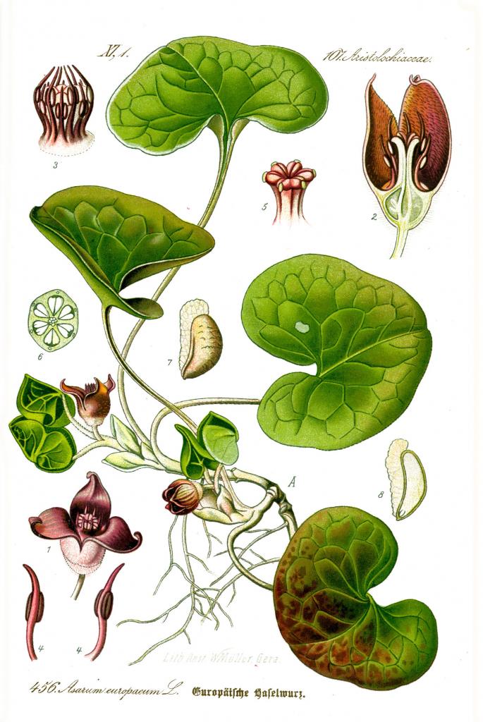 Planche botanique d'oreille d'homme